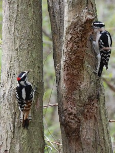 Downy Woodpeckers nesting; photo by Anne Marie Warren 2008