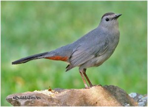 Photo courtesy of oiseaux-birds.com