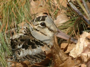 Photo by Joy Marzolf, Mass. Audubon Broadmoor Sanctuary, Natick, MA.