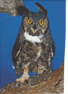 Great Horned Owl Smoky Mtn Life Magazine