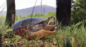 A Painted turtle sunbathes in Marlborough on Tuesday 6/2/09. Mt. Monadnock graces the background.