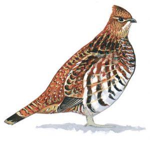 Art from Audubon.com